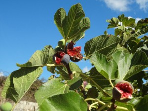 Figs by the Wayside