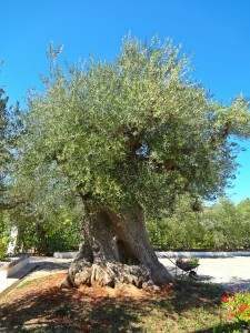 Thousand-year Old Olive Tree