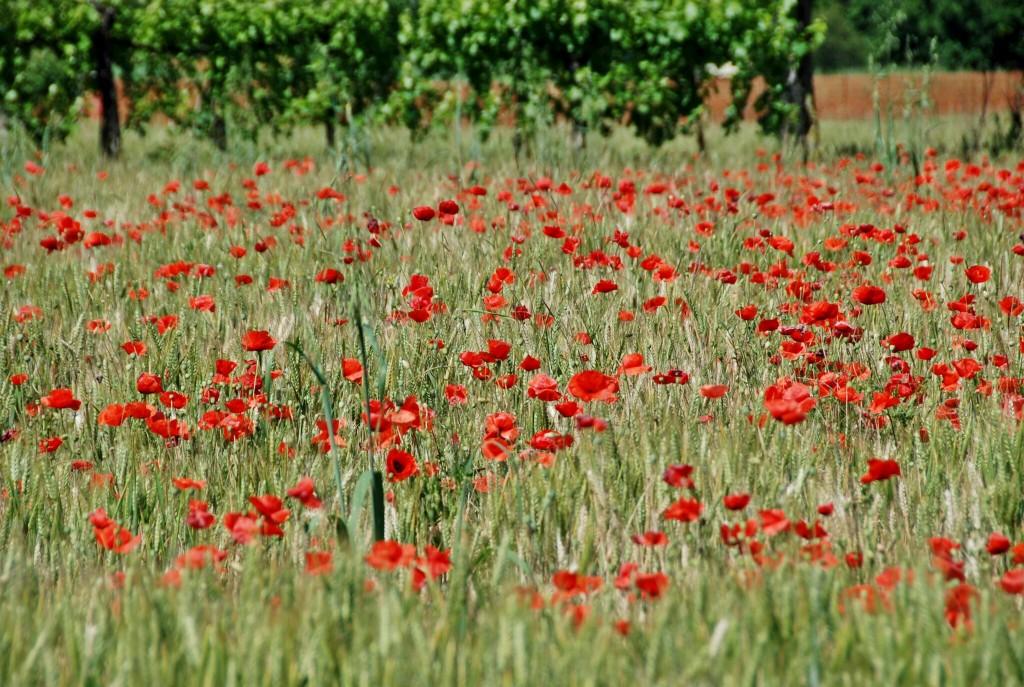 Wild Poppies, Emilia-Romagna