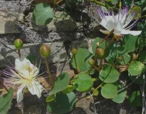 Caper Flowers