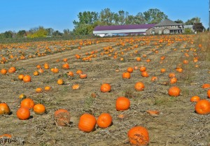 Pumpkin Harvest, Norfolk County